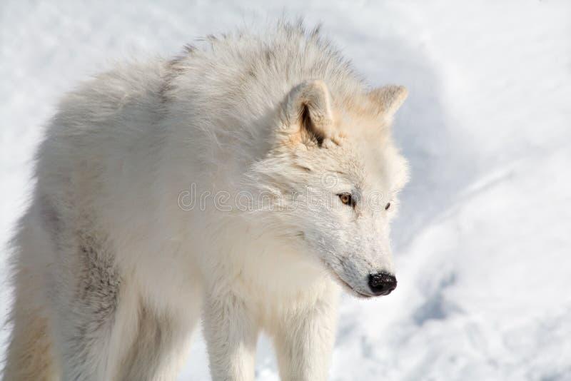 Lobo ártico na neve foto de stock