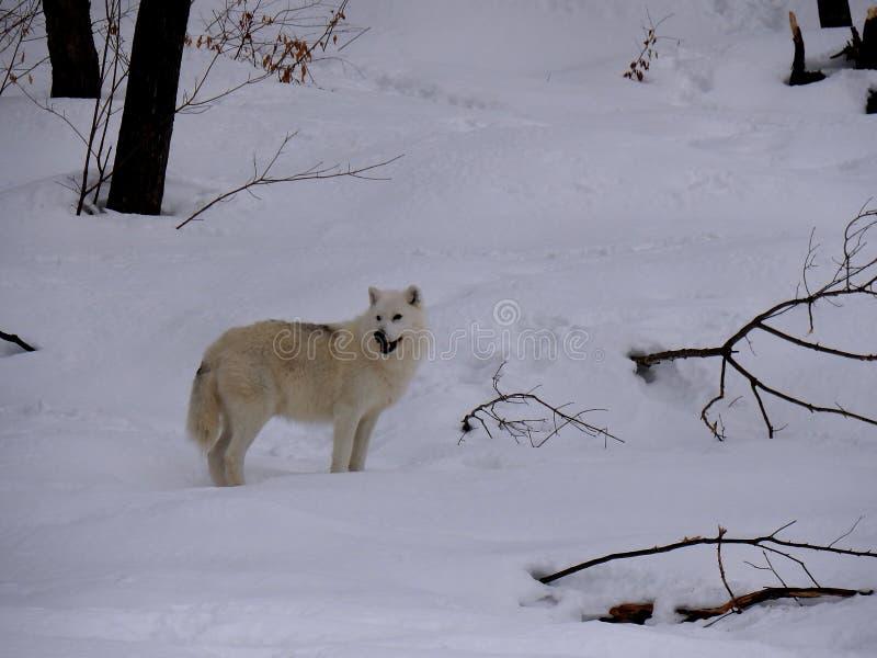 Lobo ártico na neve fotos de stock