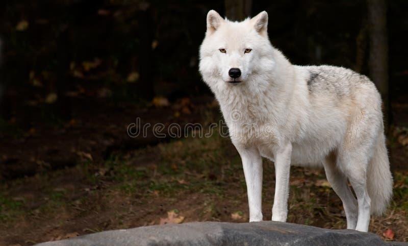 Lobo ártico que nos mira imagen de archivo