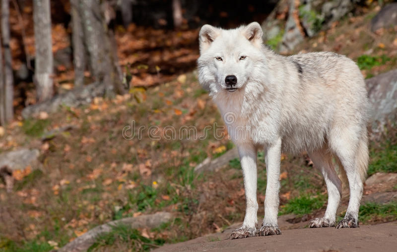 Lobo ártico que olha a câmera imagens de stock
