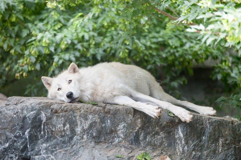 Lobo ártico que relaxa no penhasco rochoso foto de stock royalty free