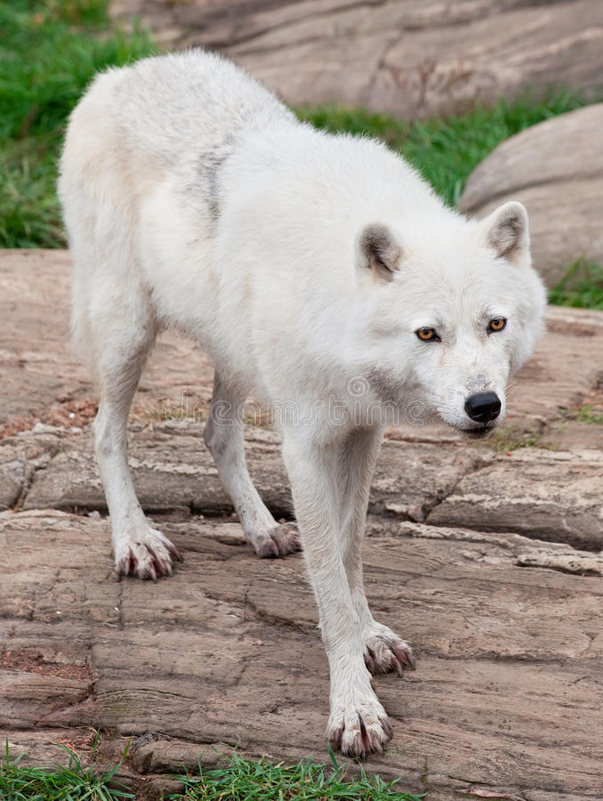 Lobo ártico que se coloca en rocas imágenes de archivo libres de regalías