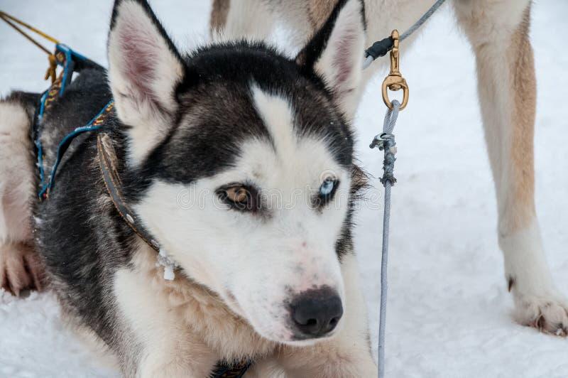 Lobo: Łuskowaty sanie pies w Inari obrazy stock
