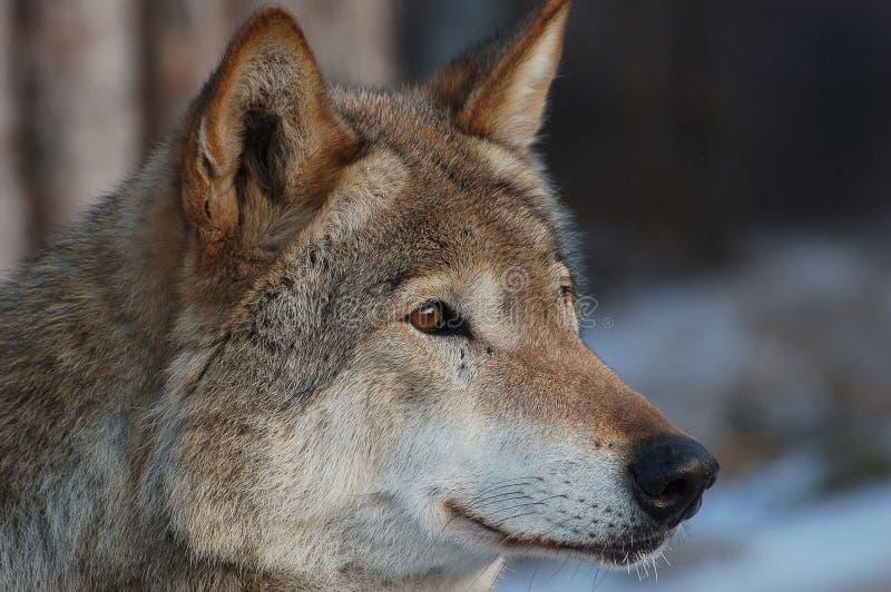 Lobo. fotografia de stock royalty free