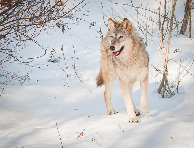Lobo atento fotos de stock royalty free