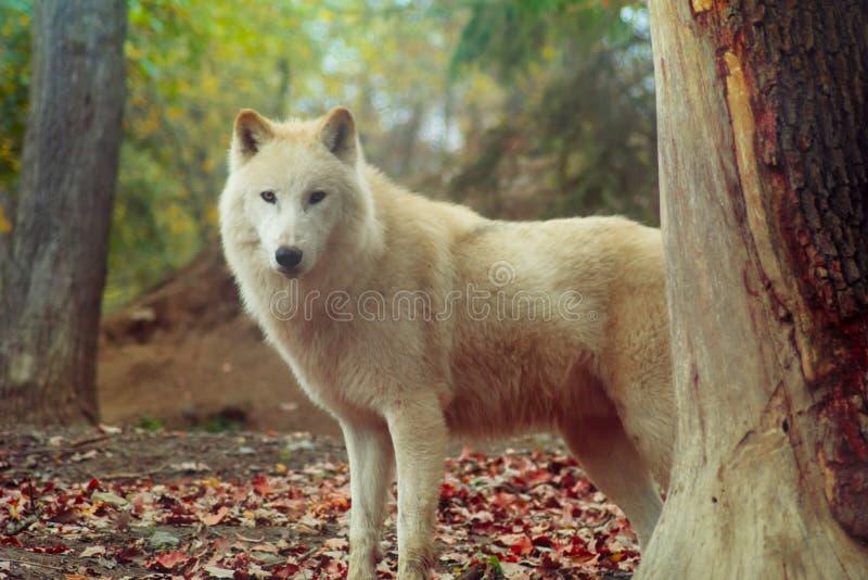 Lobo blanco foto de archivo libre de regalías