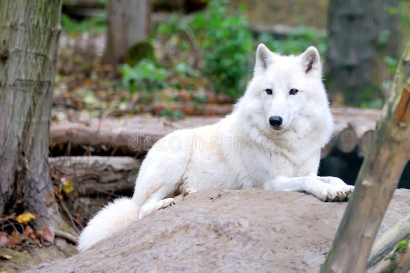 Lobo blanco en bosque imágenes de archivo libres de regalías