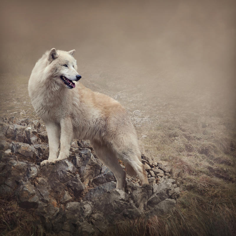 Lobo branco