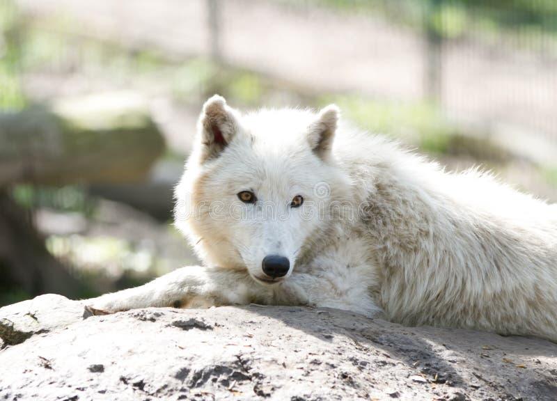 Lobo branco fotografia de stock