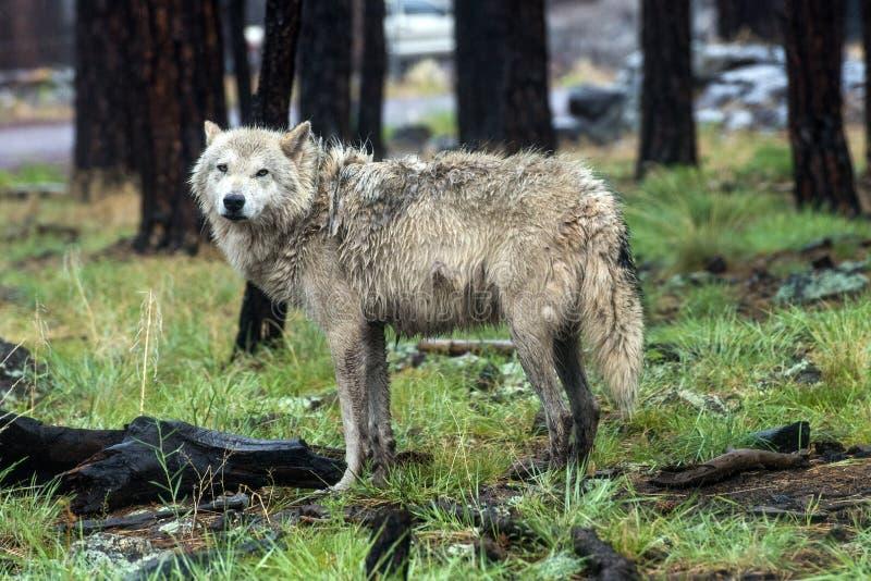 Lobo branco na chuva fotos de stock