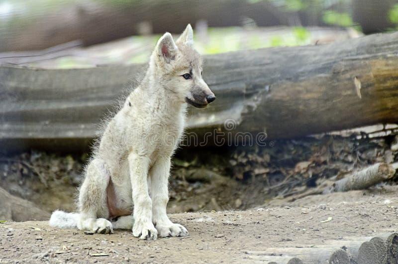 Lobo branco novo fotos de stock