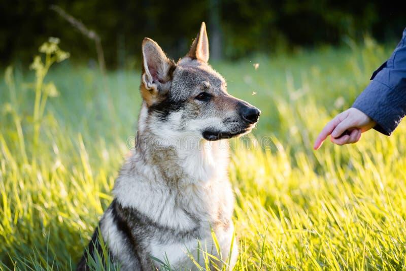 Lobo checoslovaco Entrenamiento del perro fotos de archivo libres de regalías