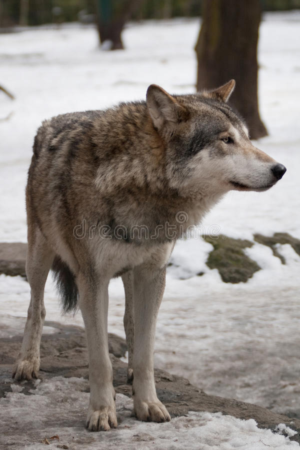 Lobo cinzento. fotografia de stock royalty free