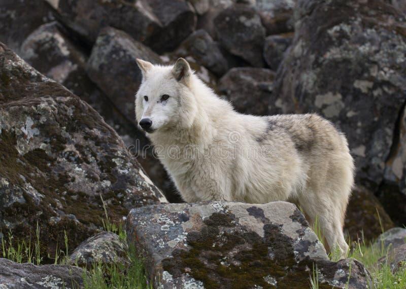 Lobo cinzento imagem de stock