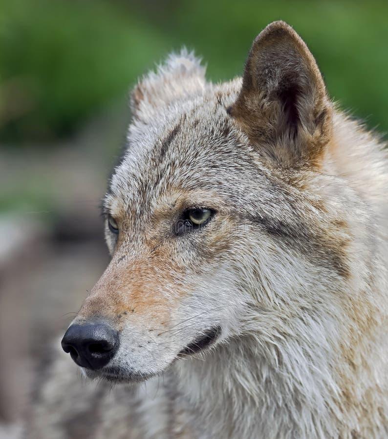 Lobo cinzento imagens de stock royalty free