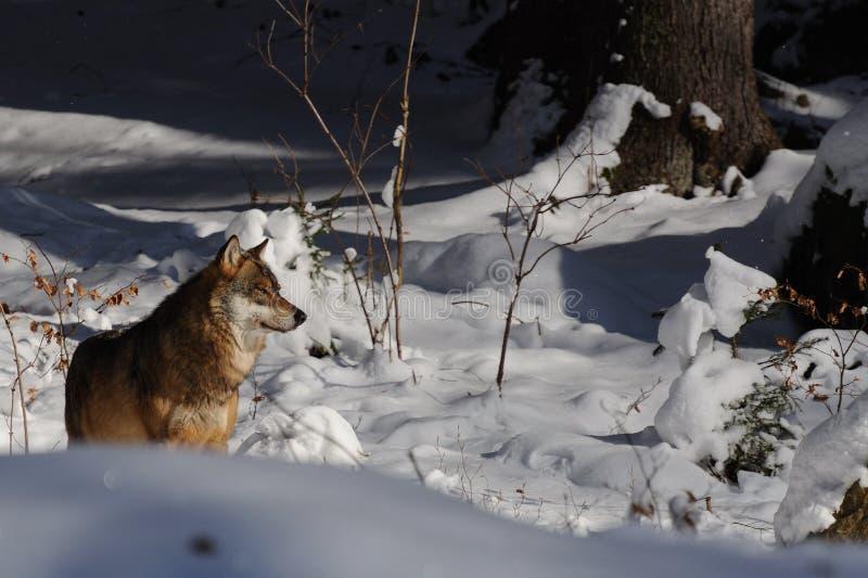 Lobo cinzento (lúpus de Canis) foto de stock royalty free