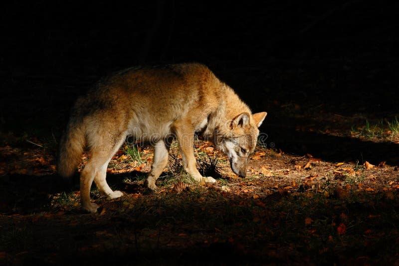 Lobo cinzento, lúpus de Canis, no lobo escuro da floresta escondido na cena dos animais selvagens da floresta da natureza Luz bon foto de stock royalty free