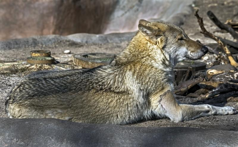 Lobo cinzento na rocha fotos de stock