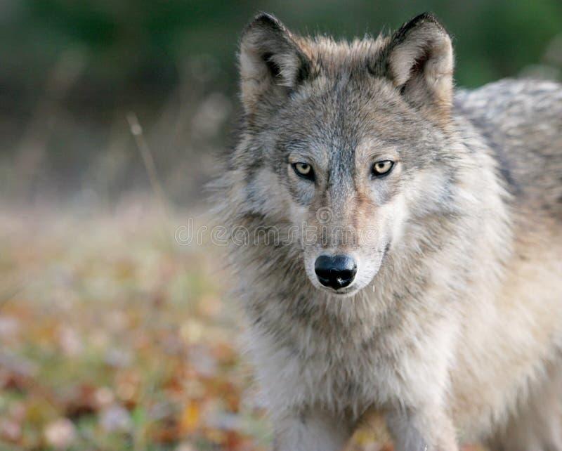 Lobo cinzento no ajuste do outono fotografia de stock royalty free