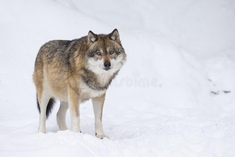 Lobo cinzento no inverno imagem de stock royalty free