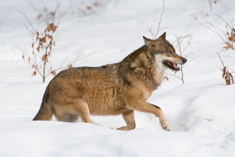 Download Lobo cinzento imagem de stock. Imagem de floresta, cinzento - 29827965