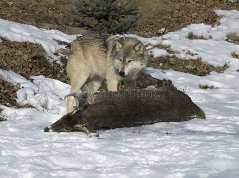 Download Lobo com matança imagem de stock. Imagem de animal, lobo - 12807403
