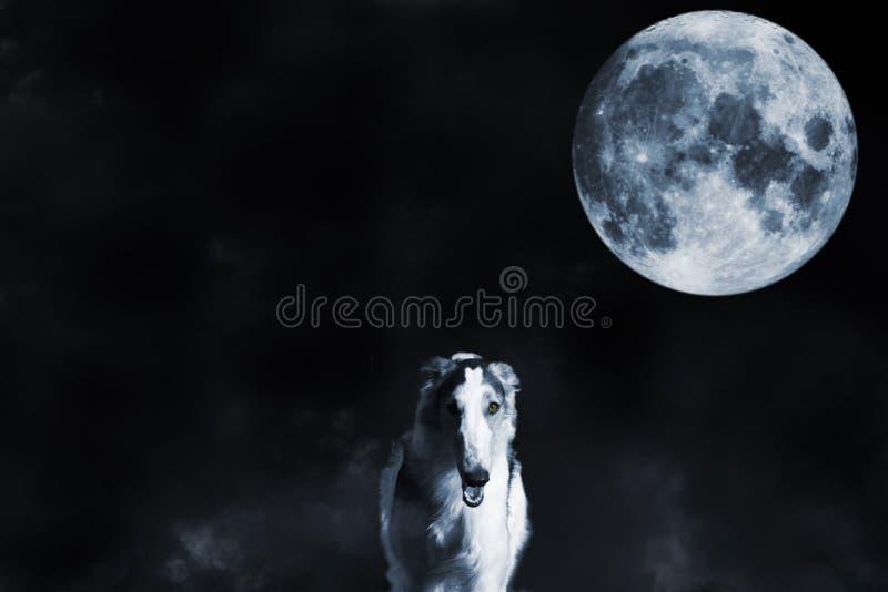 Lobo como perro de la vista del galgo ruso y la Luna Llena imágenes de archivo libres de regalías
