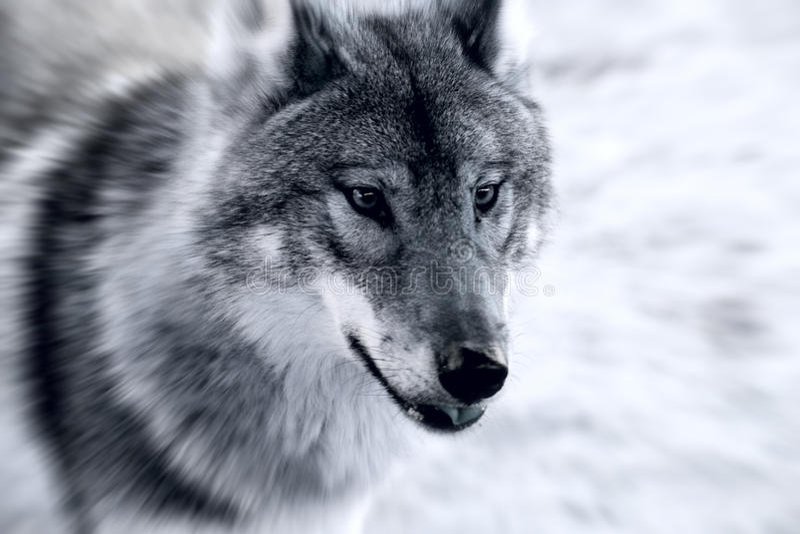 Lobo cruel fotografia de stock royalty free