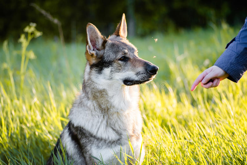 Lobo Czechoslovakian Treinamento do cão fotos de stock royalty free