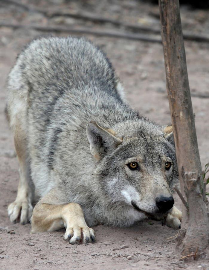 Lobo de agachamento imagem de stock