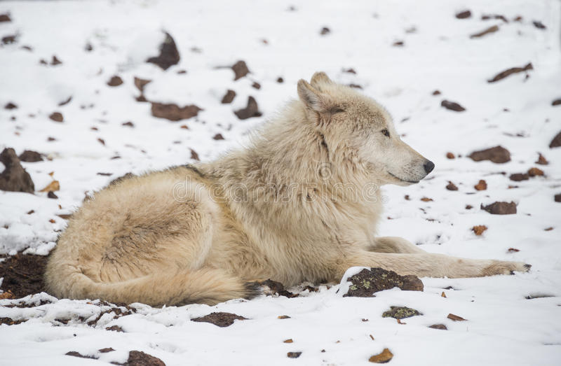 Lobo de Alaska de la tundra imagen de archivo