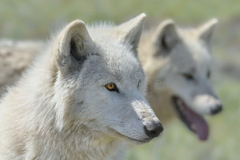 Lobo de Alaska de la tundra imagenes de archivo