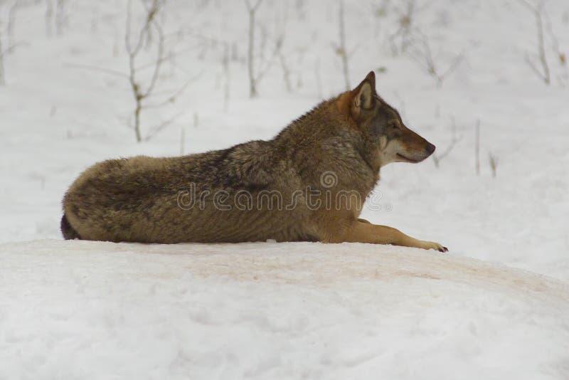 Lobo de Bialowieza/de Polonia fotos de archivo