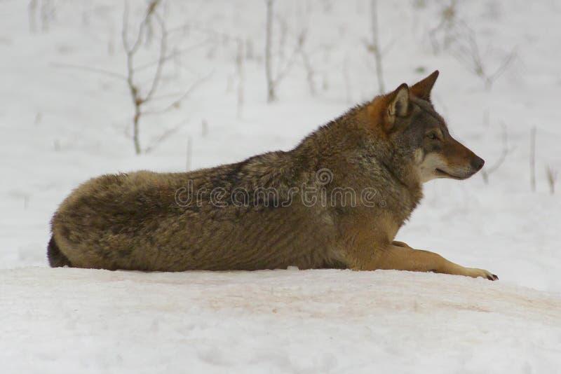 Lobo de Bialowieza/Poland fotografia de stock
