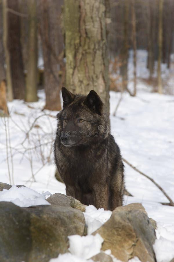 Lobo de la tundra imagenes de archivo
