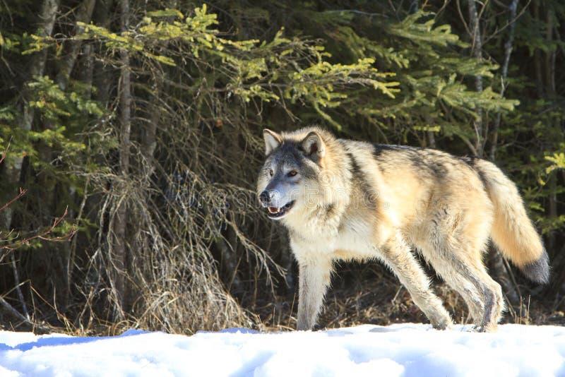 Lobo de madeira alfa grande imagem de stock
