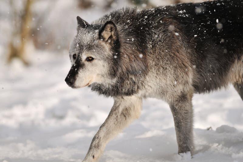Lobo de madeira cinzento na neve imagens de stock royalty free