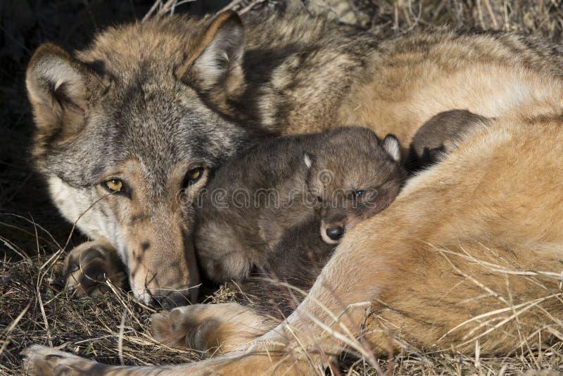 Lobo de madeira da mãe que olha sobre filhotes de cachorro fotografia de stock royalty free