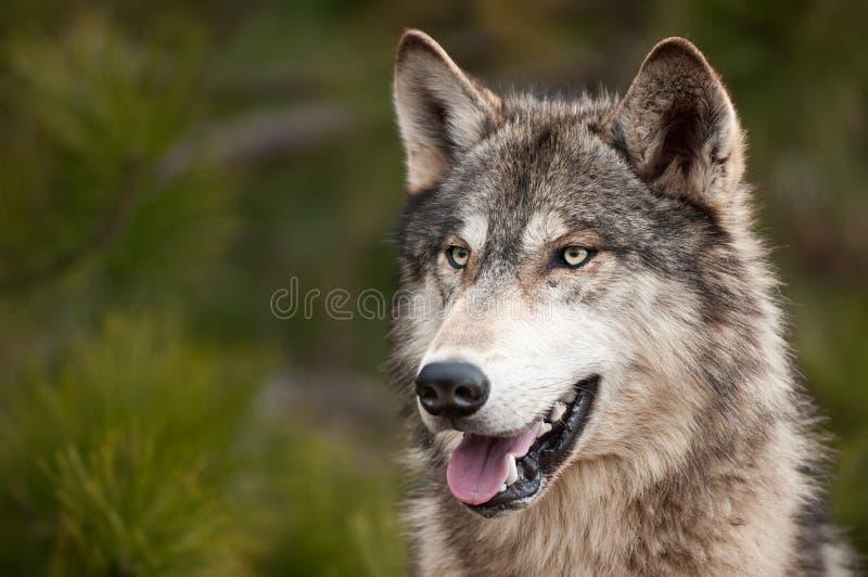 Lobo de madeira (lúpus de Canis) fotos de stock royalty free