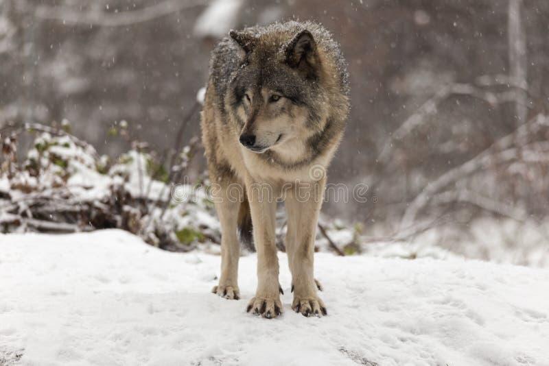 Lobo de madeira solitário em uma cena do inverno imagem de stock
