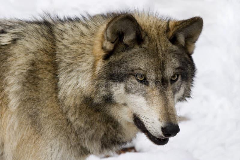 Lobo de madeira V imagens de stock
