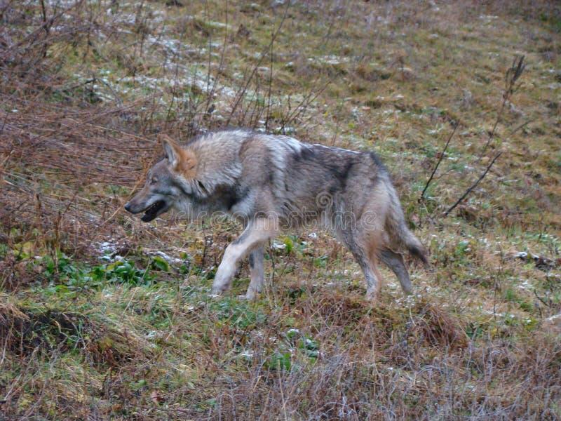 Lobo de madera imagen de archivo