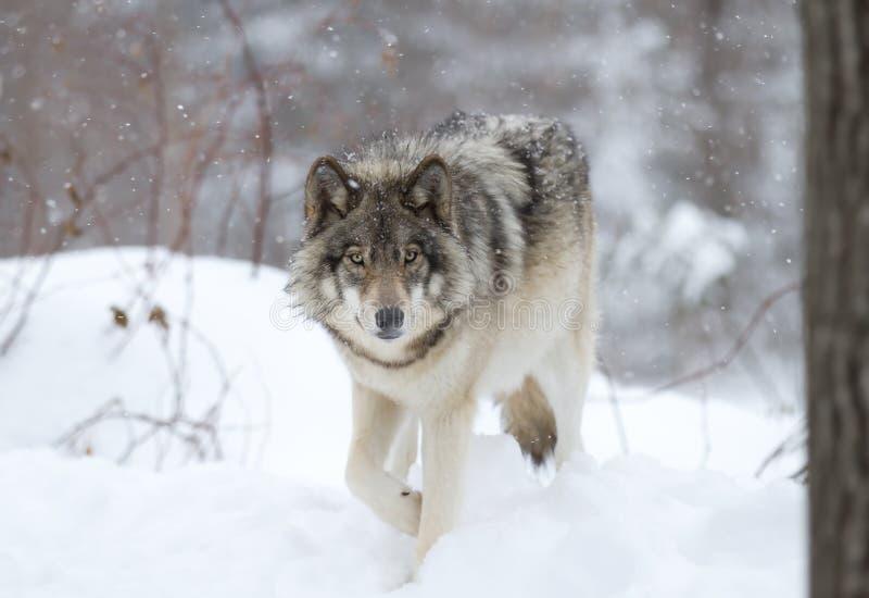 Lobo de madera imagen de archivo libre de regalías