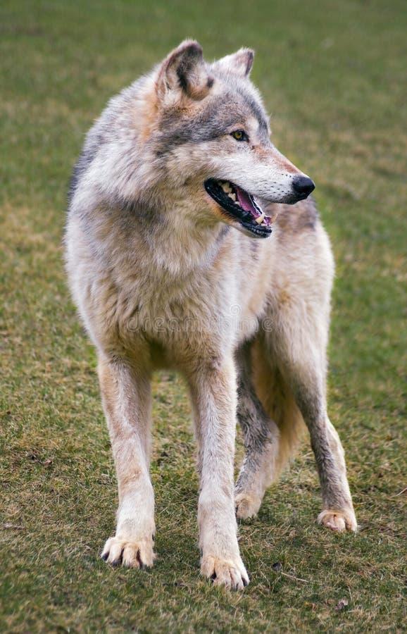 Lobo de madera de situación fotografía de archivo libre de regalías