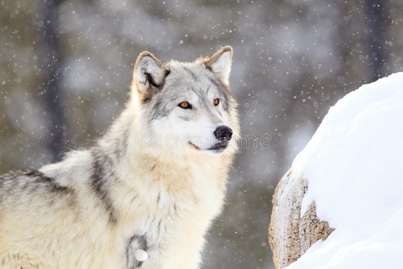 Lobo de madera en la alarma durante tormenta de la nieve foto de archivo libre de regalías