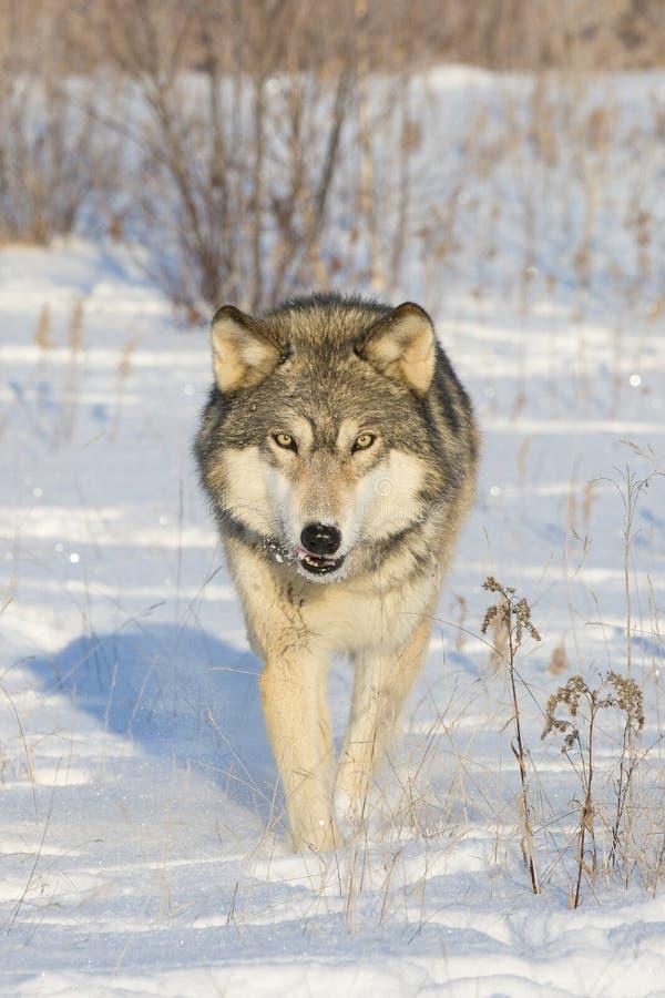 Lobo de madera en vagabundeo imagenes de archivo