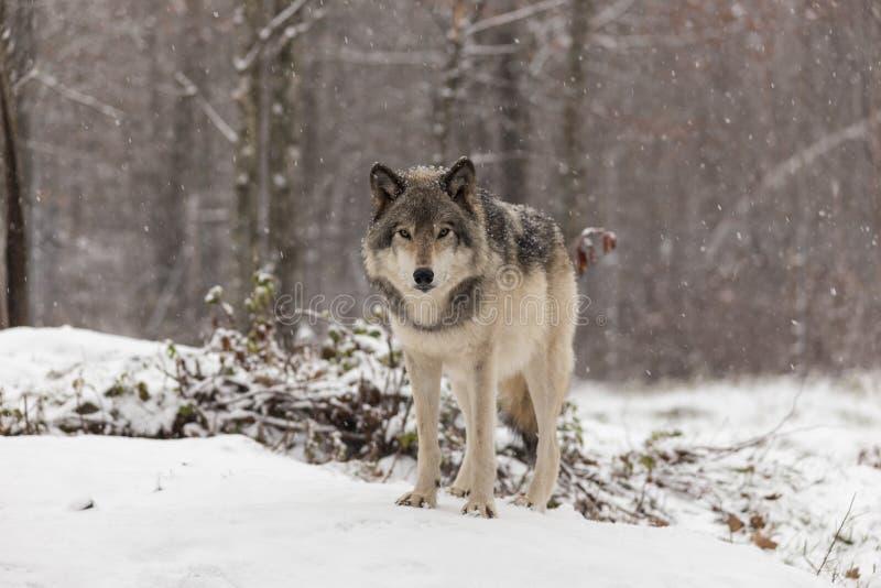 Lobo de madera solitario en una escena del invierno foto de archivo