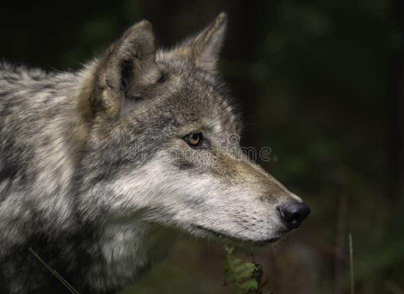 Lobo de madera también conocido como Gray Wolf o Grey Wolf Portrait imagen de archivo
