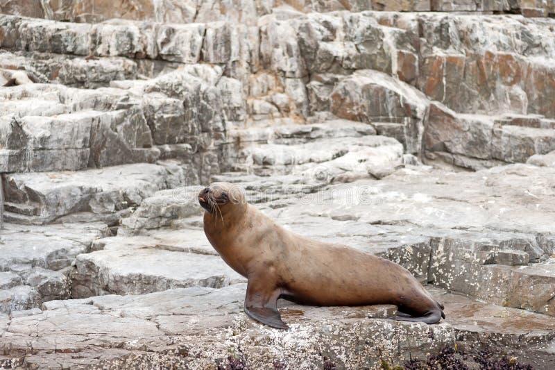 Lobo de mar 2 foto de stock royalty free