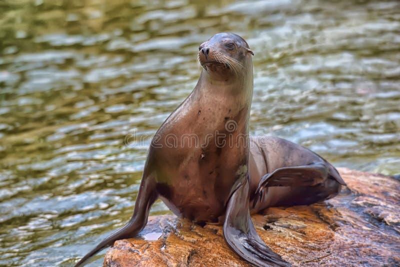 Lobo de mar 2 foto de stock